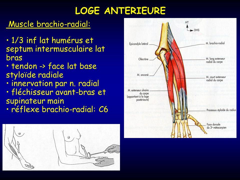 LOGE ANTERIEURE Muscle brachio-radial: