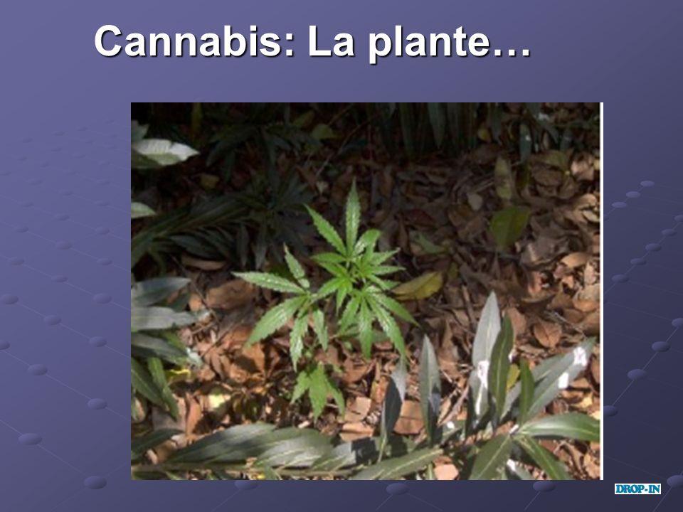 Cannabis: La plante…