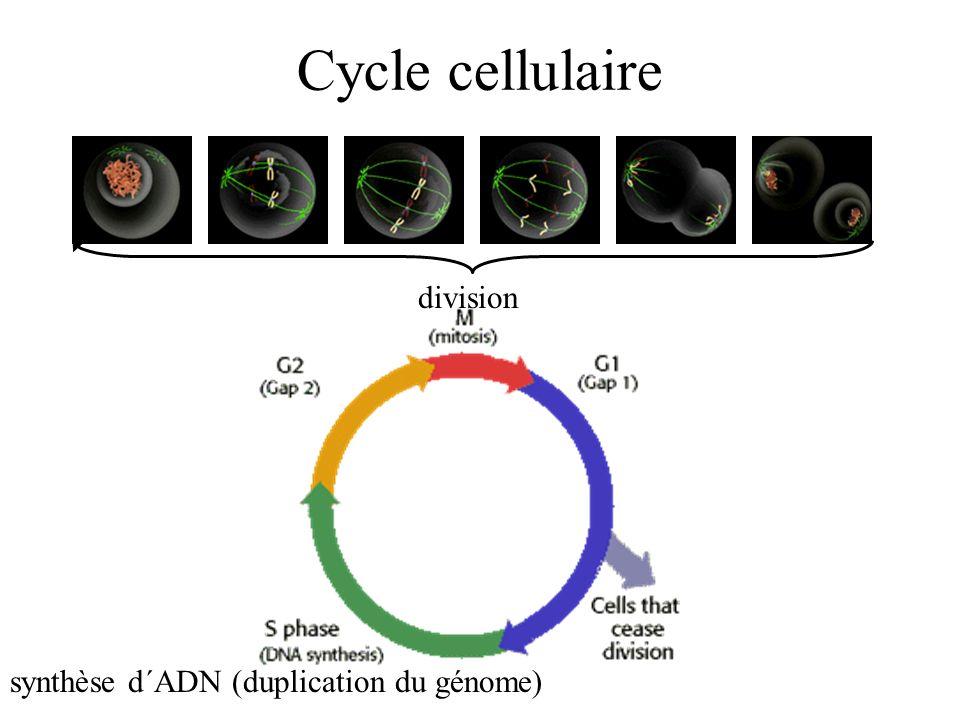 Cycle cellulaire division synthèse d´ADN (duplication du génome)