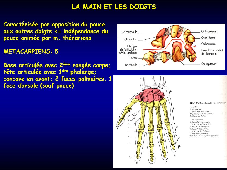 LA MAIN ET LES DOIGTS Caractérisée par opposition du pouce aux autres doigts <= indépendance du pouce animée par m. thénariens.
