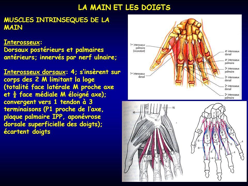 LA MAIN ET LES DOIGTS MUSCLES INTRINSEQUES DE LA MAIN Interosseux: