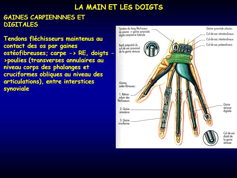 LA MAIN ET LES DOIGTS GAINES CARPIENNNES ET DIGITALES