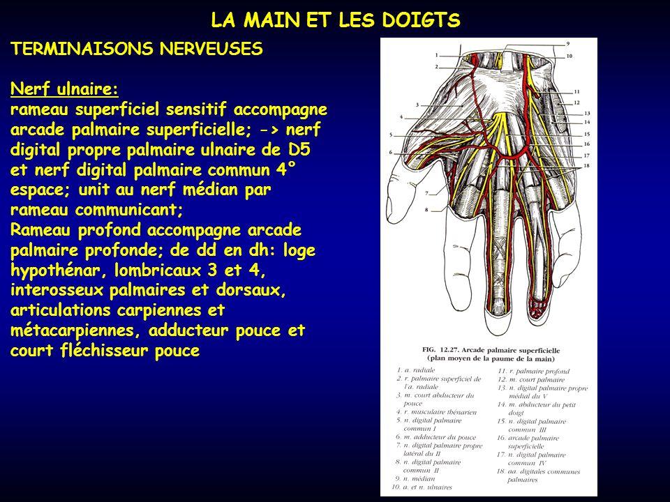 LA MAIN ET LES DOIGTS TERMINAISONS NERVEUSES Nerf ulnaire: