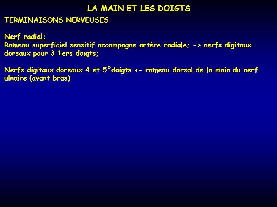 LA MAIN ET LES DOIGTS TERMINAISONS NERVEUSES Nerf radial: