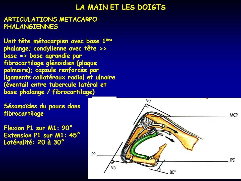 LA MAIN ET LES DOIGTS ARTICULATIONS METACARPO-PHALANGIENNES