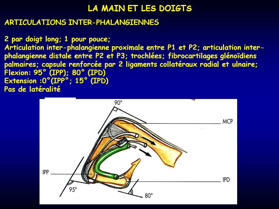 LA MAIN ET LES DOIGTS ARTICULATIONS INTER-PHALANGIENNES