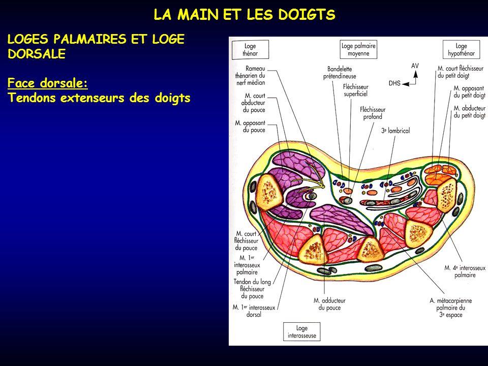 LA MAIN ET LES DOIGTS LOGES PALMAIRES ET LOGE DORSALE Face dorsale: