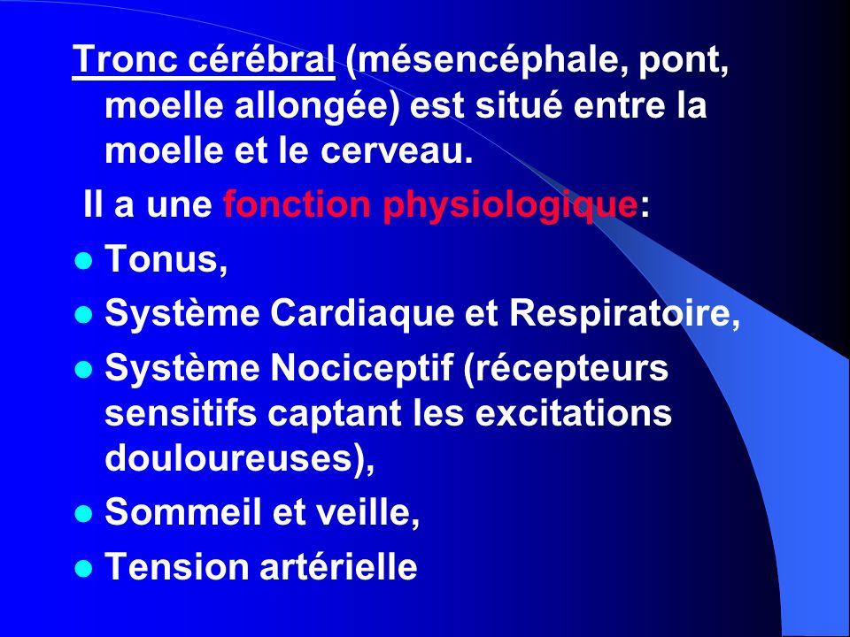 Tronc cérébral (mésencéphale, pont, moelle allongée) est situé entre la moelle et le cerveau.