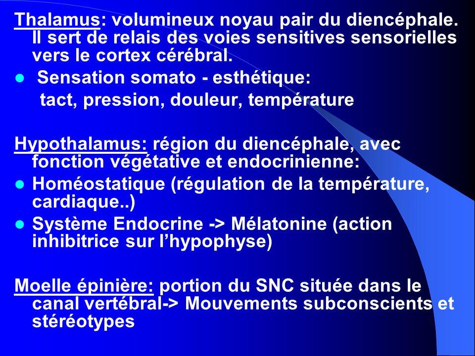 Thalamus: volumineux noyau pair du diencéphale