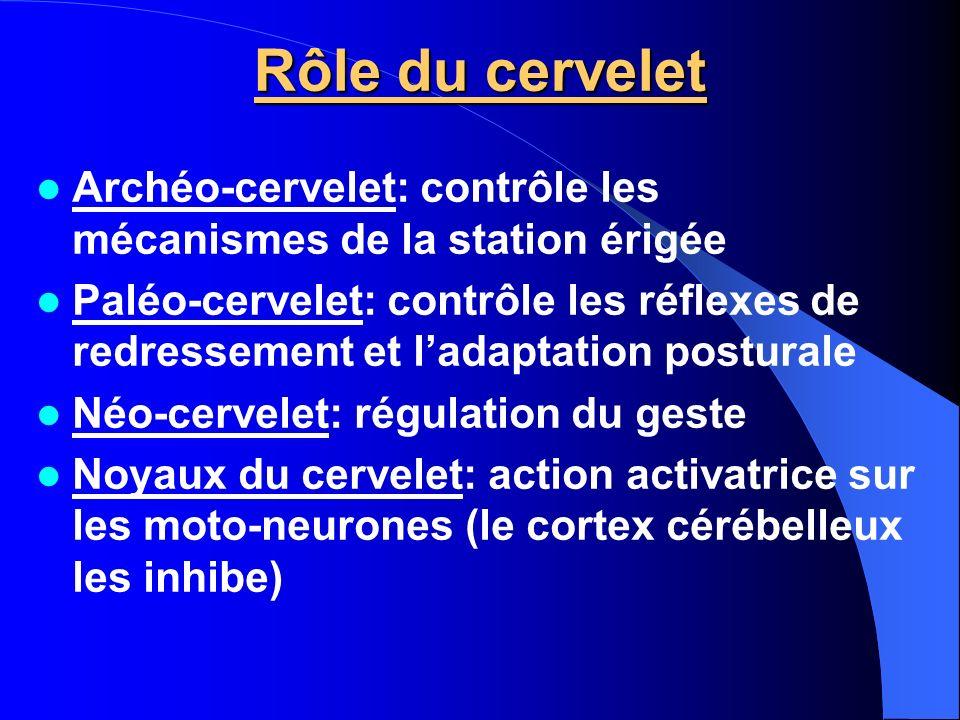 Rôle du cervelet Archéo-cervelet: contrôle les mécanismes de la station érigée.