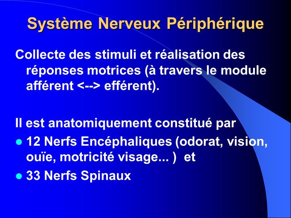Système Nerveux Périphérique
