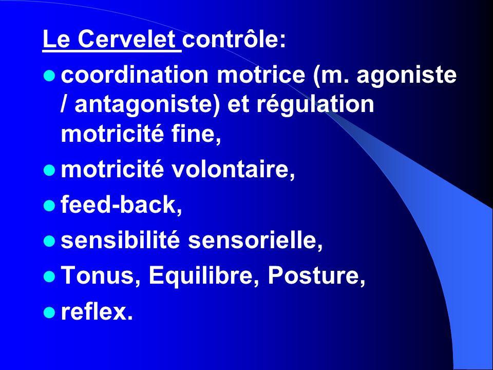 Le Cervelet contrôle: coordination motrice (m. agoniste / antagoniste) et régulation motricité fine,
