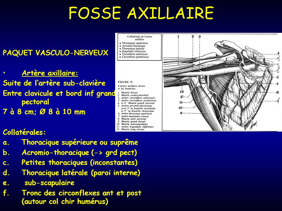 FOSSE AXILLAIRE PAQUET VASCULO-NERVEUX Artère axillaire: