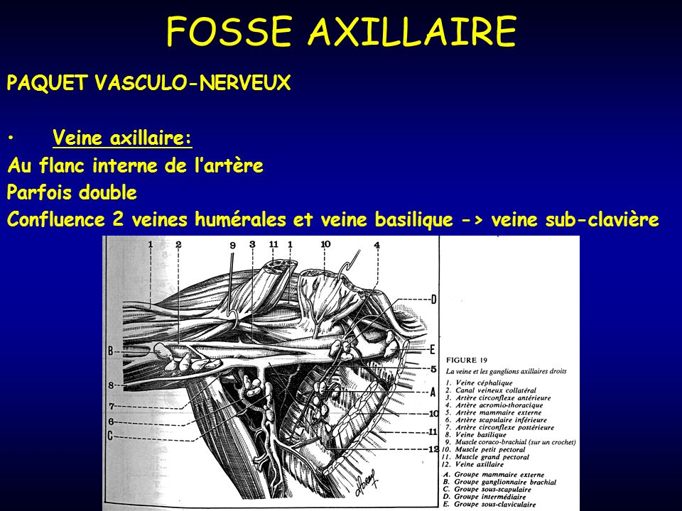 FOSSE AXILLAIRE PAQUET VASCULO-NERVEUX Veine axillaire: