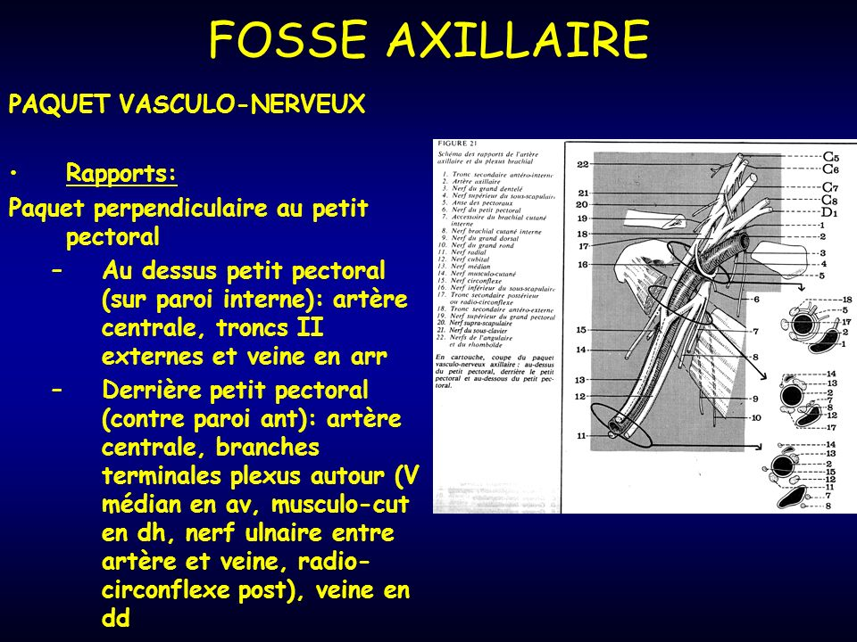 FOSSE AXILLAIRE PAQUET VASCULO-NERVEUX Rapports:
