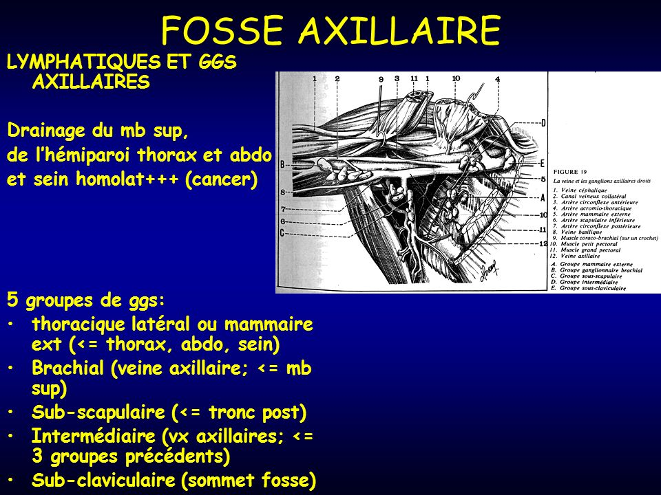 FOSSE AXILLAIRE LYMPHATIQUES ET GGS AXILLAIRES Drainage du mb sup,