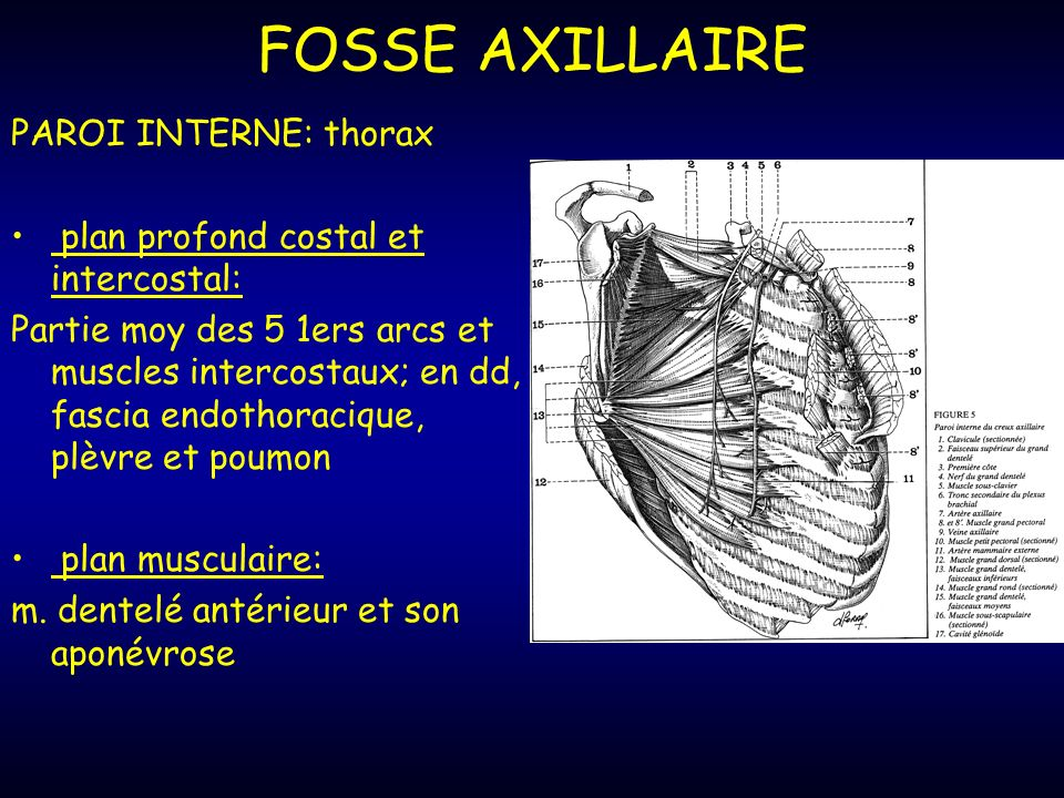 FOSSE AXILLAIRE PAROI INTERNE: thorax
