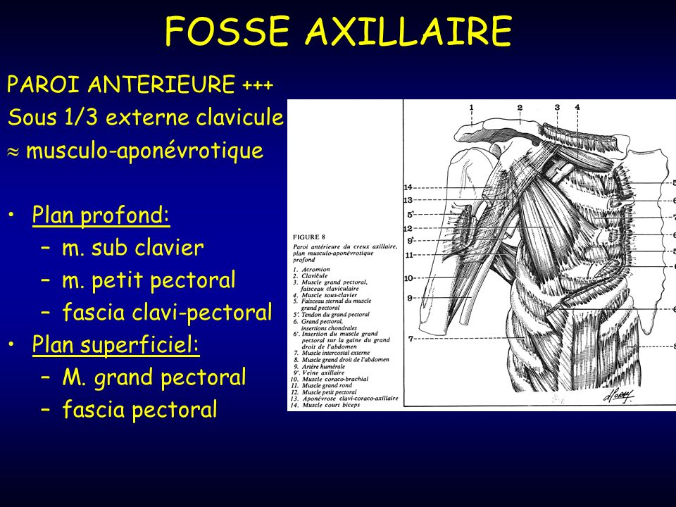 FOSSE AXILLAIRE PAROI ANTERIEURE +++ Sous 1/3 externe clavicule