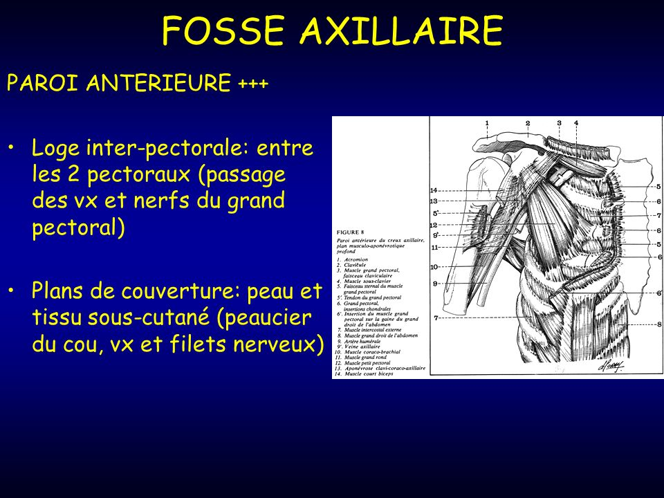 FOSSE AXILLAIRE PAROI ANTERIEURE +++