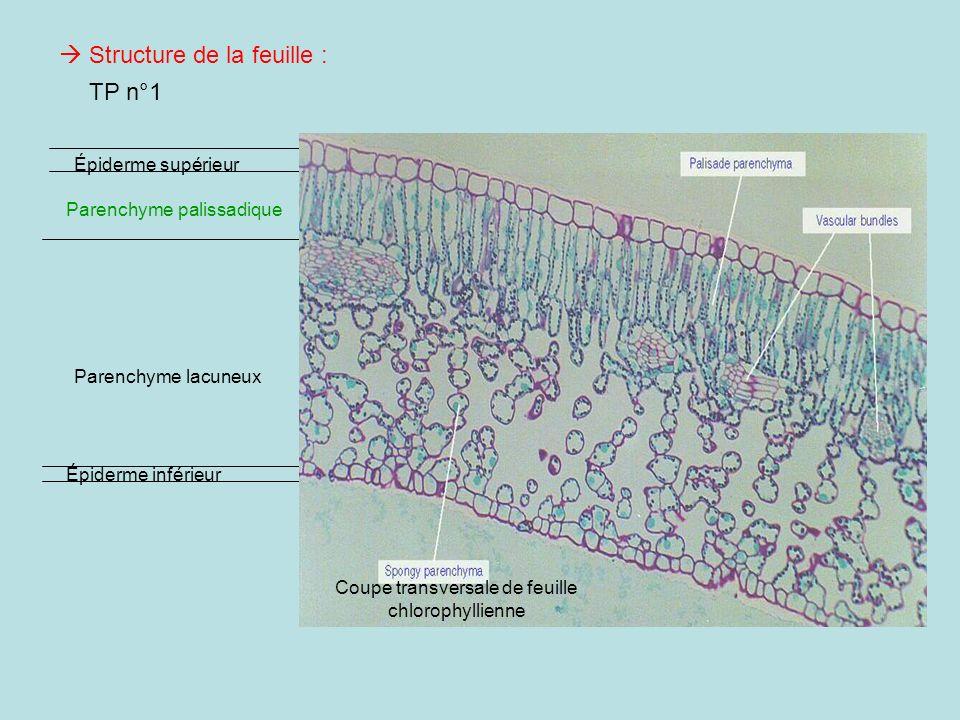 Coupe transversale de feuille chlorophyllienne