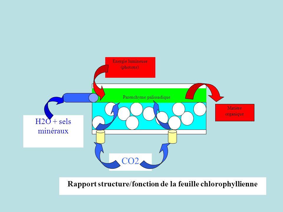 Rapport structure/fonction de la feuille chlorophyllienne