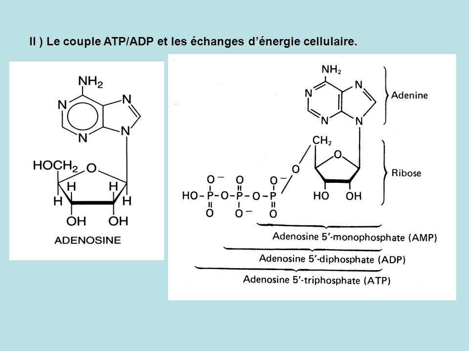 II ) Le couple ATP/ADP et les échanges d'énergie cellulaire.