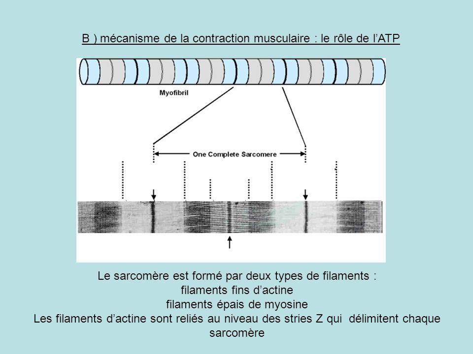 B ) mécanisme de la contraction musculaire : le rôle de l'ATP