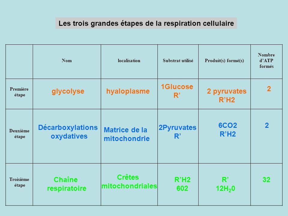 Les trois grandes étapes de la respiration cellulaire