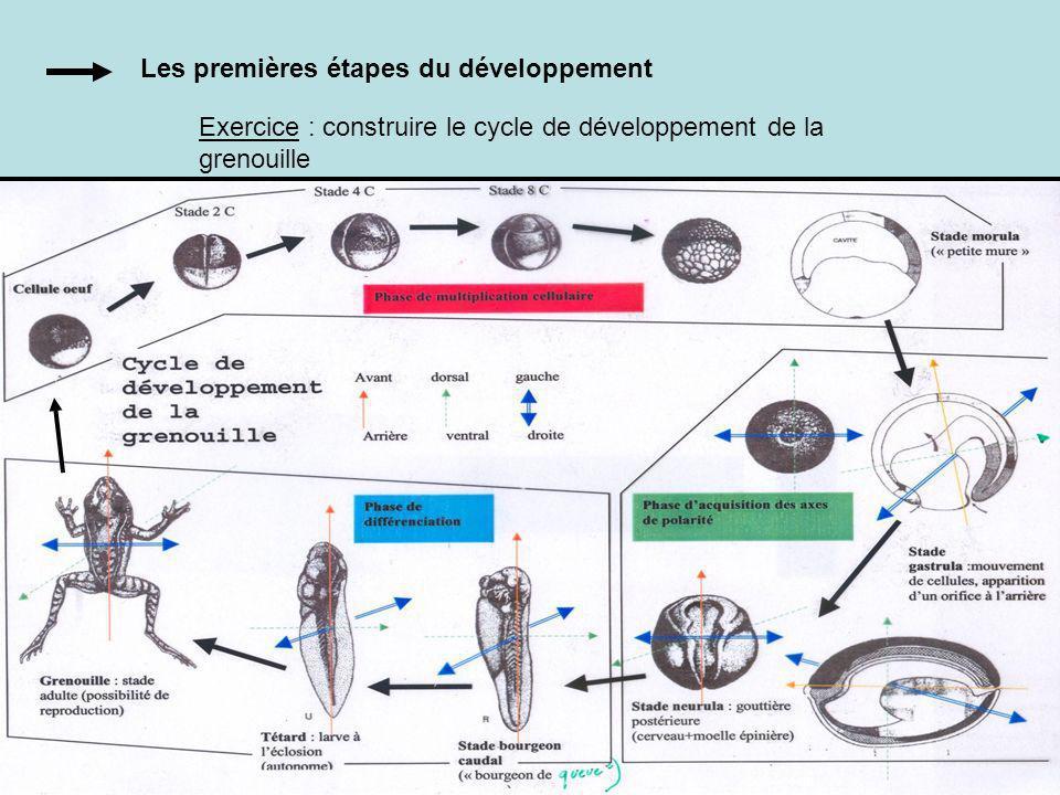 Les premières étapes du développement