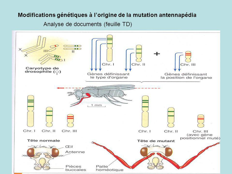 Modifications génétiques à l'origine de la mutation antennapédia