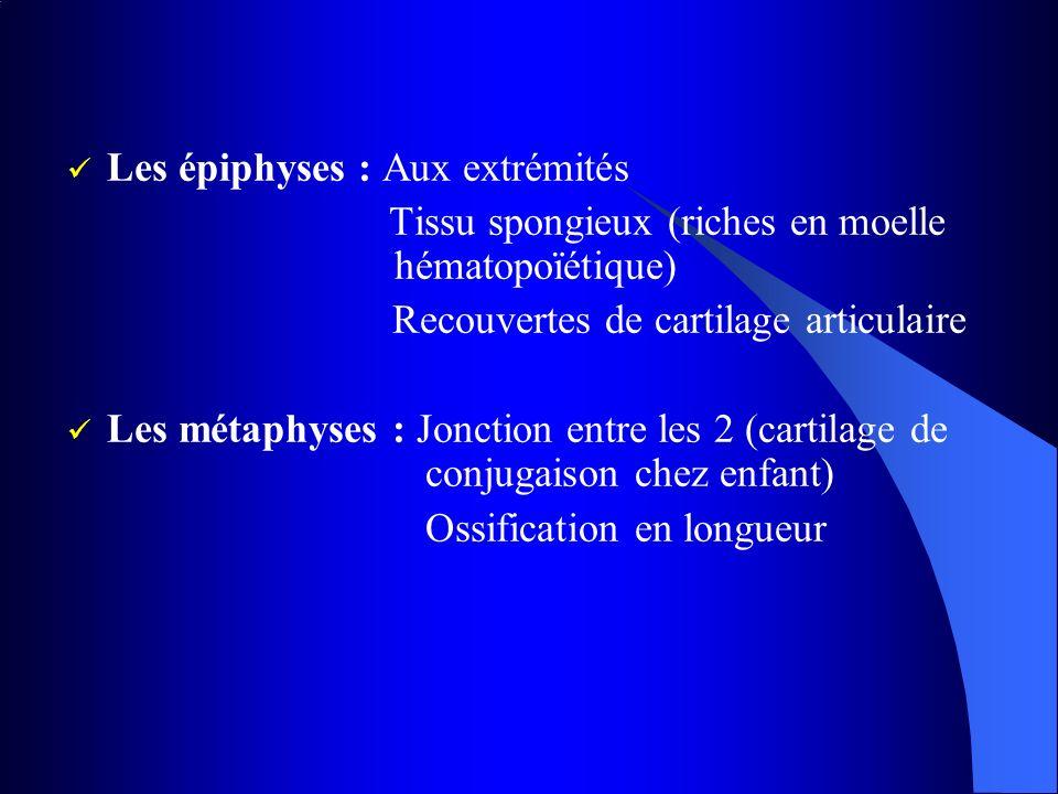 Les épiphyses : Aux extrémités