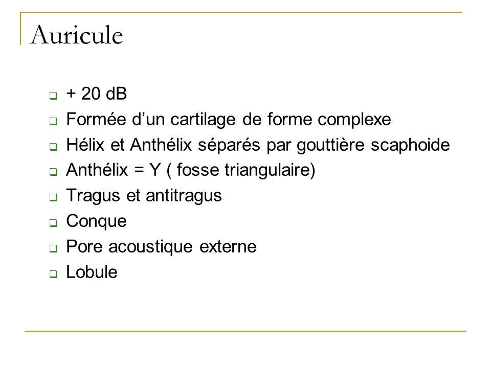 Auricule + 20 dB Formée d'un cartilage de forme complexe