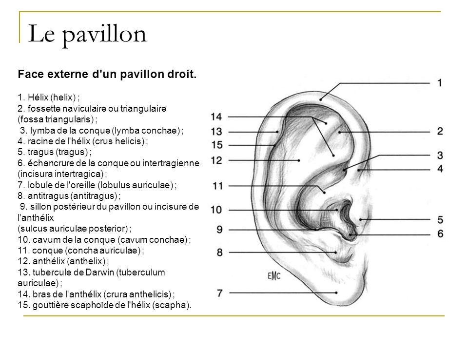 Le pavillon Face externe d un pavillon droit. 1. Hélix (helix) ;