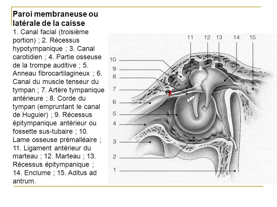 Paroi membraneuse ou latérale de la caisse