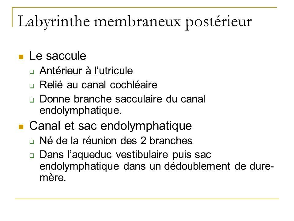 Labyrinthe membraneux postérieur