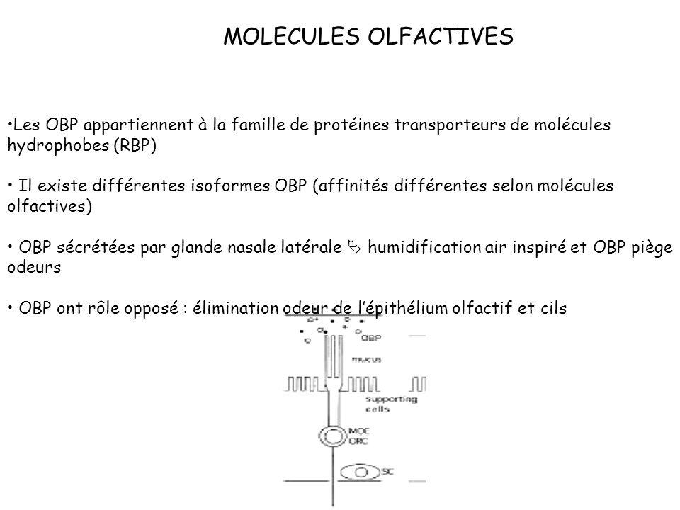 MOLECULES OLFACTIVES Les OBP appartiennent à la famille de protéines transporteurs de molécules hydrophobes (RBP)