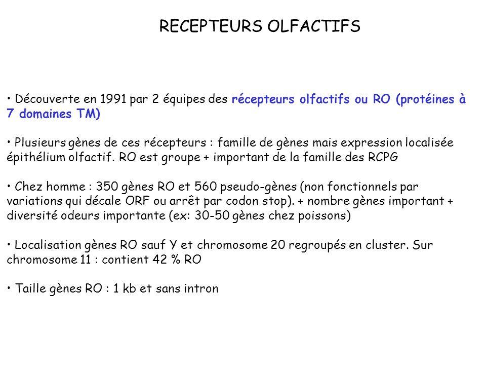 RECEPTEURS OLFACTIFS Découverte en 1991 par 2 équipes des récepteurs olfactifs ou RO (protéines à 7 domaines TM)