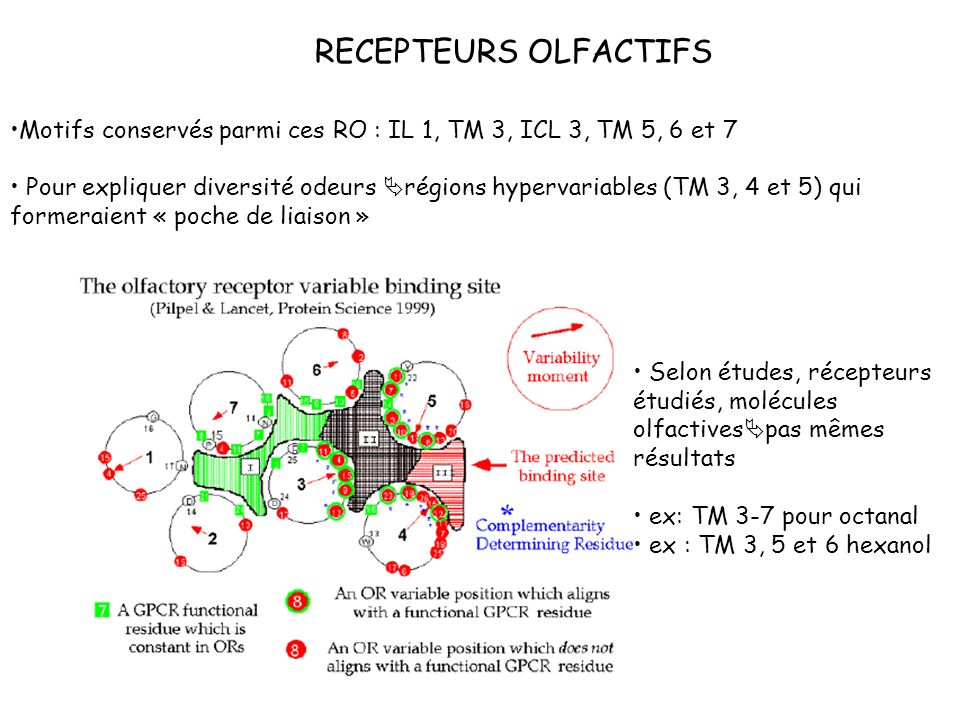 RECEPTEURS OLFACTIFS Motifs conservés parmi ces RO : IL 1, TM 3, ICL 3, TM 5, 6 et 7.
