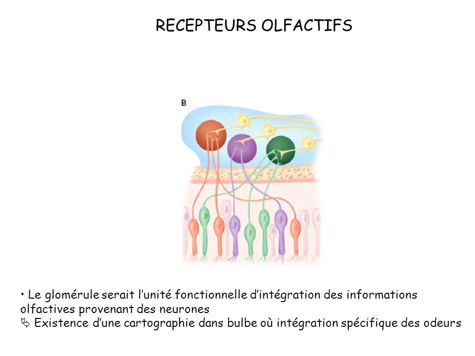 RECEPTEURS OLFACTIFS Le glomérule serait l'unité fonctionnelle d'intégration des informations olfactives provenant des neurones.