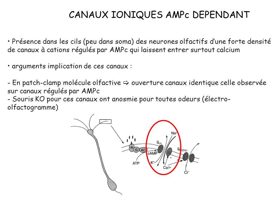 CANAUX IONIQUES AMPc DEPENDANT