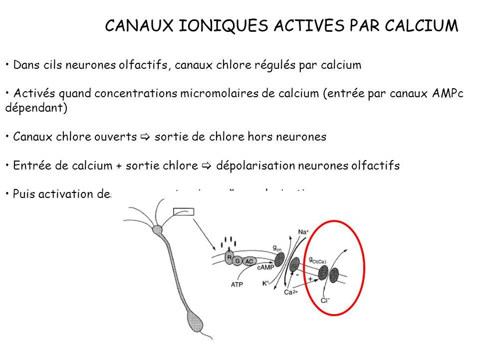 CANAUX IONIQUES ACTIVES PAR CALCIUM