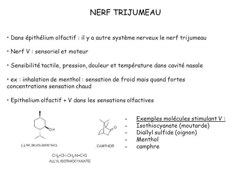 NERF TRIJUMEAU Dans épithélium olfactif : il y a autre système nerveux le nerf trijumeau. Nerf V : sensoriel et moteur.