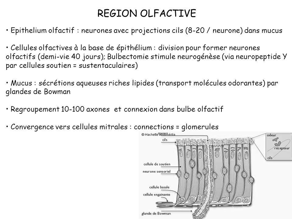 REGION OLFACTIVE Epithelium olfactif : neurones avec projections cils (8-20 / neurone) dans mucus.