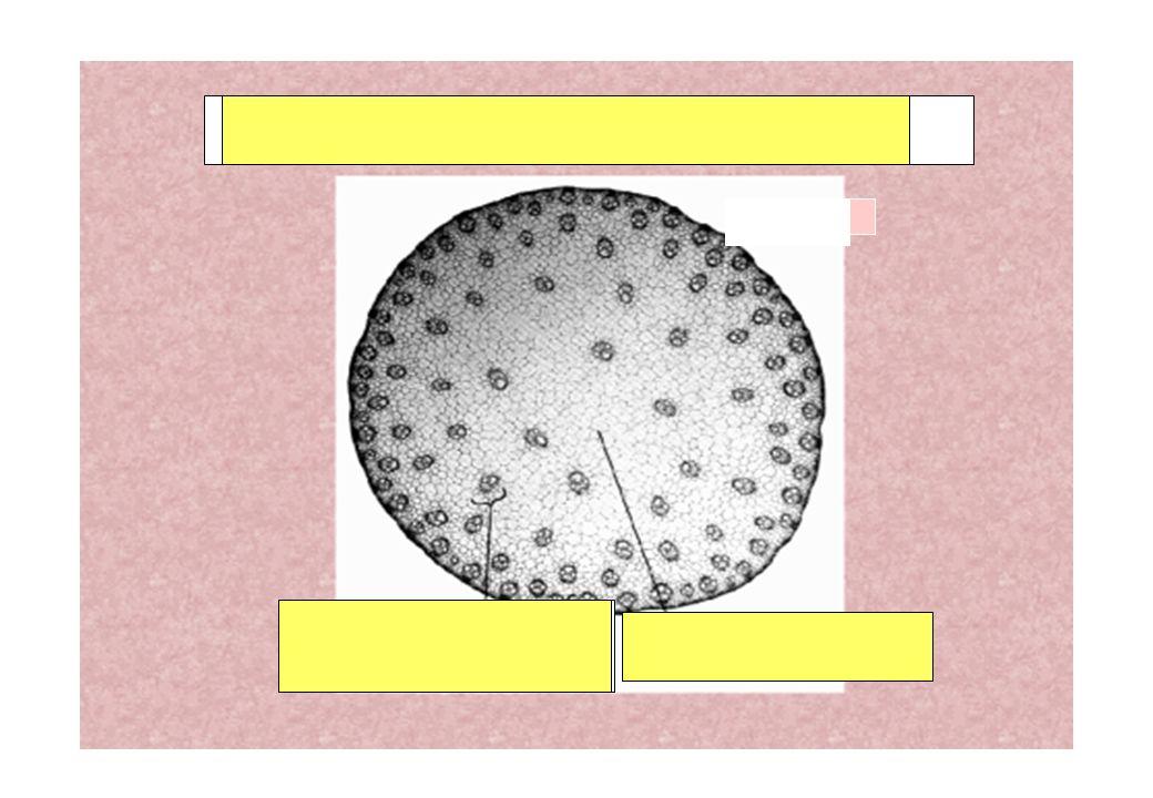 Coupe de tige de monocotylédone