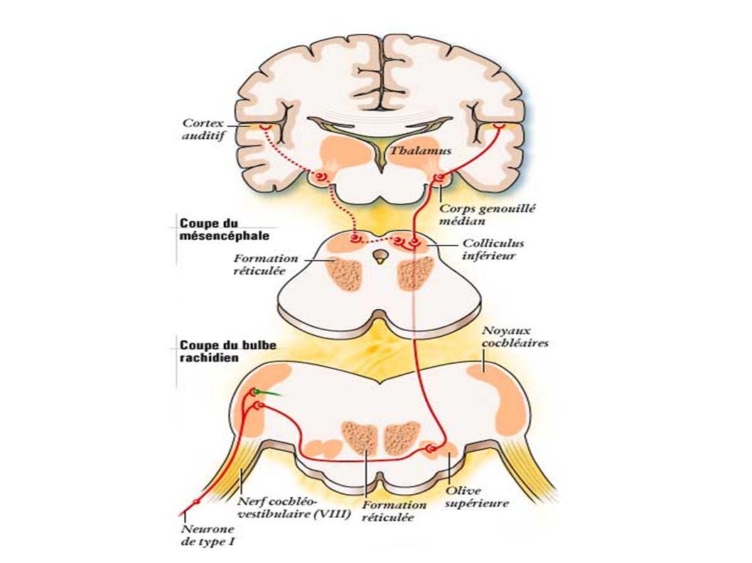 Le dernier neurone de la voie auditive primaire relie le thalamus au cortex auditif où le message déjà largement décodé par le travail des neurones sous-jacents, est reconnu, mémorisé peut être intégré dans une réponse volontaire.