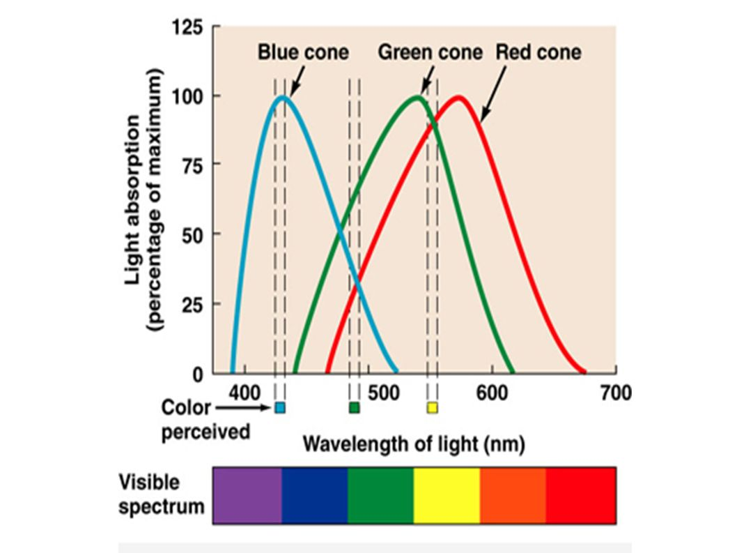Les cônes: daltonien si quelqu un manque une sorte de cône!
