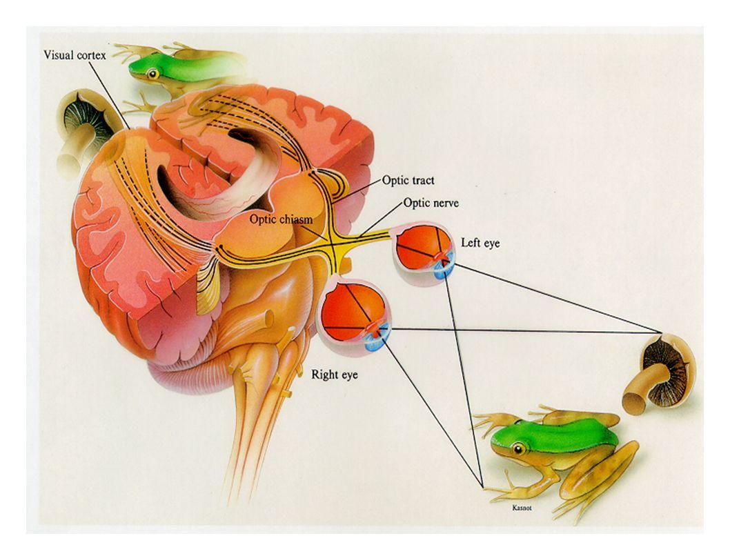 1. Champ visuel nasal. 2. Rétine nasale. 3. Chiasma optique. 4. Macula