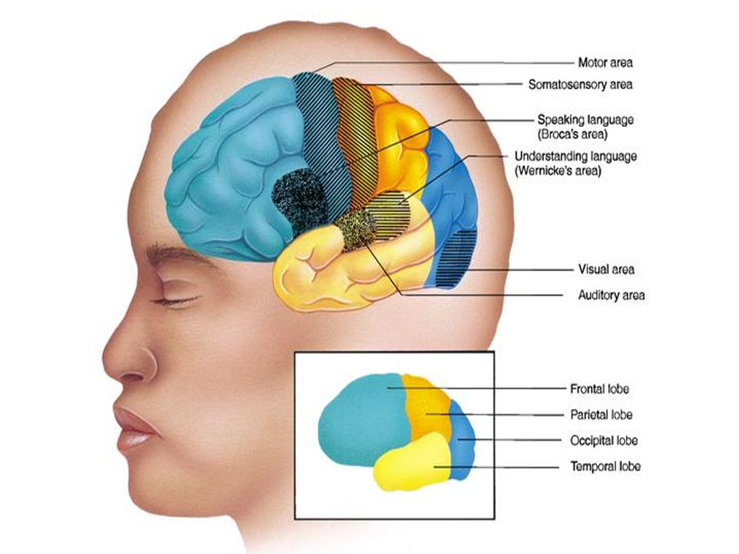 Le lobe frontal le lobe pariétal le lobe occipital le lobe temporal