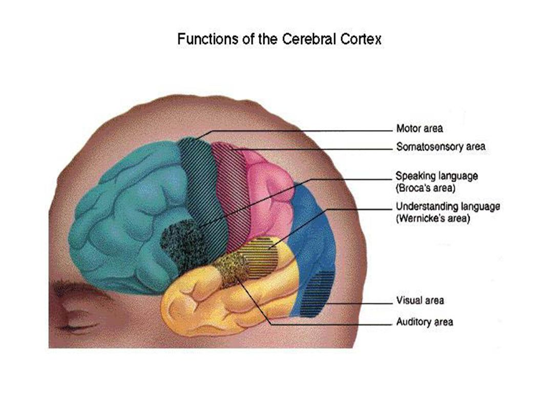 La zone moteur la zone somatosensorielle. la zone brocka: parler. la zone wernicke: comprendre la language.