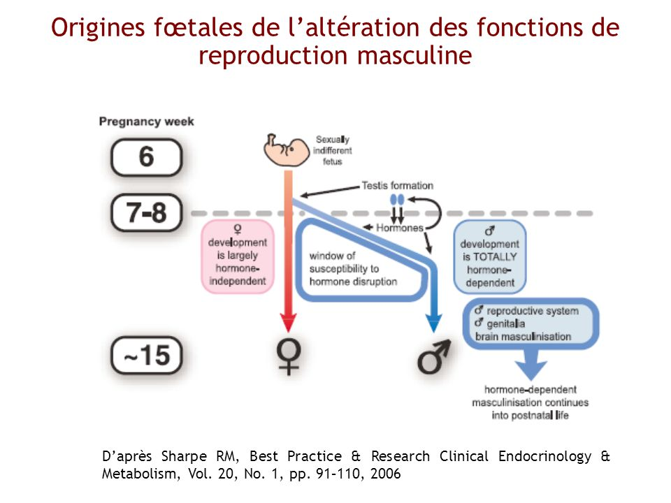 Origines fœtales de l'altération des fonctions de reproduction masculine